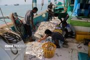 صیادان هرمزگانی ۱۲۵۰ تن میگو صید کردند