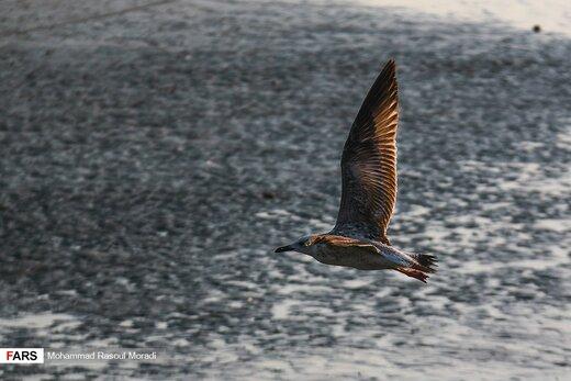 پرندگان مهاجرِ «خلیج فارس»