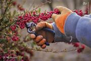 تصاویر | برداشت میوهای که طول عمر را افزایش میدهد