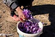 هر کیلو زعفران چند میلیون تومان است؟