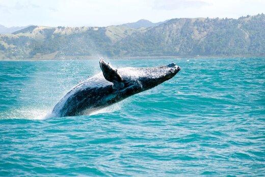 نجات نهنگها بیشتر از کاشت درخت برای مقابله با تغییر اقلیم مفید است