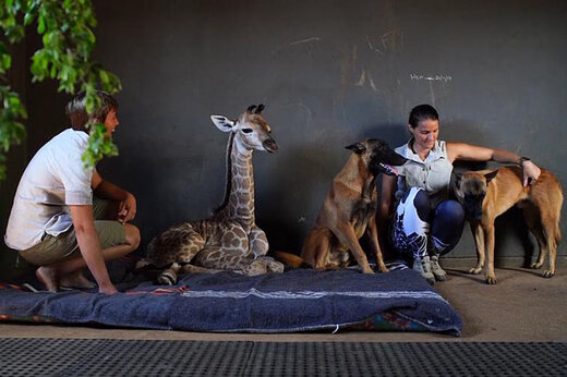 فیلم   مراقبت یک سگ از زرافه یتیم
