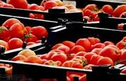 انتظار ارزانی گوجه فرنگی از اول دیماه؛ عوارض صادراتی این محصول تصویب شد