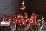 تصاویر | بزرگترین پرورشگاه شتر مرغ خاورمیانه
