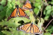 فیلم   «پروانههای شهریار» به مکزیک رسیدند
