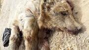 افشای راز قتل تولهخرس قهوهای سوادکوه
