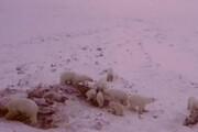 فیلم | هجوم ۵۶ خرس به روستایی در شمال شرق روسیه
