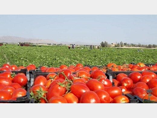 گوجه از نیمه آذر ارزان میشود