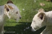 تصاویر | ایران صاحب توله شیرهای سفید افریقایی شد
