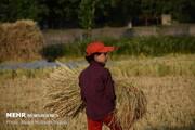 پایان برداشت برنج در شادگان/۲۲.۵ تن شلتوک برداشت شد