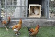 شیرهای نادر آفریقایی در قفس مرغ و خروس/ سازمان محیطزیست: برخورد میکنیم