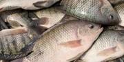 پرورش ماهی تیلاپیا تهدید زیستی و امنیتی دارد؟