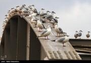 تصاویر | مرغهای ماهیخوار مهمان این روزهای اهوازیها