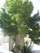 ثبت درخت چنار کهنسال روستای ایج در فهرست میراث طبیعی ملی