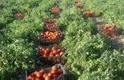 حرکت شتایان عراق به سوی خودکفایی در کشاورزی