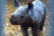 تصاویر | تولد یک کرگدن سیاه در معرض انقراض در فرانسه