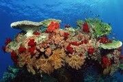 هزار هکتار از مناطق آبسنگهای مرجانی خلیج فارس از بین رفت