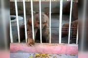 ویدئویی غمانگیز از برگ خوردن خرسی در باغ وحش خرمآباد