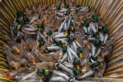 تصاویر   شکار غیرمجاز پرندگان در فریدونکنار