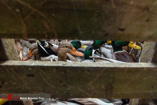 تخلفات گسترده در بازار فروش پرندگان - فریدونکنار