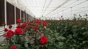تولید ۶ میلیون ۵۰۰ هزار گل شاخه بریده در چهارمحال و بختیاری