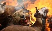 تصاویر | صحنههای دردناک سوختن کانگروها، کوآلاها و دیگر حیوانات در جنگلهای استرالیا