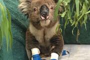 ببینید | تصاویر جالب از درمان کلینیکی کوالاهای در آتش سوخته استرالیایی