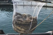 از ۹۵ واحد پرورش ماهی البرز فقط ۲۰ واحد فعال است