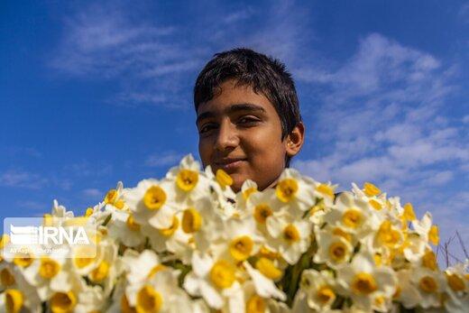 برداشت گل نرگس از مزارع آزادشهر