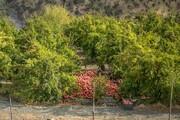 طرح توسعه باغات کردستان در سطح ۵۰۱ هکتار اجرایی شده است