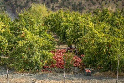 طرح توسعه باغات کردستان در سطح 501 هکتار اجرایی شده است