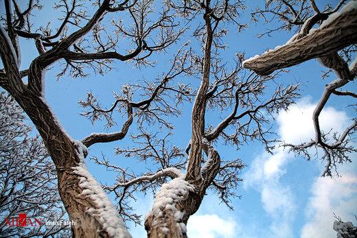 درختان یخ زده - سنندج