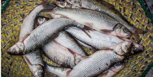 ماهی کامیاران در انتظار ورود به بازارهای جهانی/اشتغالزایی مزارع ماهیان سردآبی پالنگان برای 300 نفر