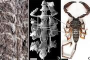 شناسایی فسیل ۴۳۷ میلیون ساله یک عقرب/ عکس