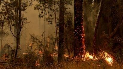 نقش درختان اکالیپتوس در گسترش آتشسوزیهای جنگلی استرالیا