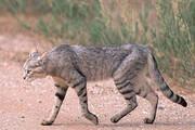 عکس | اولین تصویر از گربه وحشی در منطقه حفاظت شده باشگل