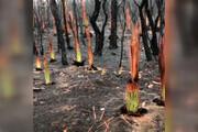 ببینید | تصاویر اعجاب انگیز از درختان سوخته استرالیایی که به سرعت جوانه زدند!
