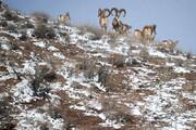 فیلم | تصاویر دیدنی از کل و بزهای پارک ملی گلستان در برف زمستان