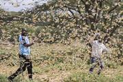 فیلم | هجوم بیسابقهٔ خطرناکترین گونهٔ ملخ به شرق آفریقا