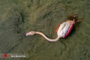 تصاویر | مرگ فلامینگوها و پرندگان مهاجر در تالاب میانکاله