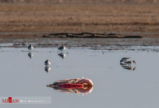 مرگ مشکوک پرندگان در تالاب میانکاله