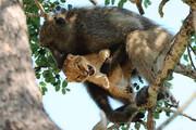 ببینید | لحظات بینظیر نگهداری یک میمون از توله شیر!