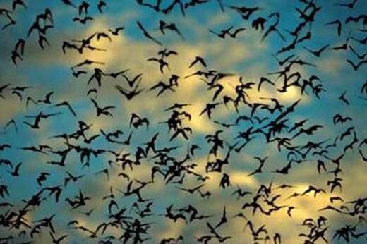 ببینید | حمله صدها هزار خفاش به شهری در استرالیا