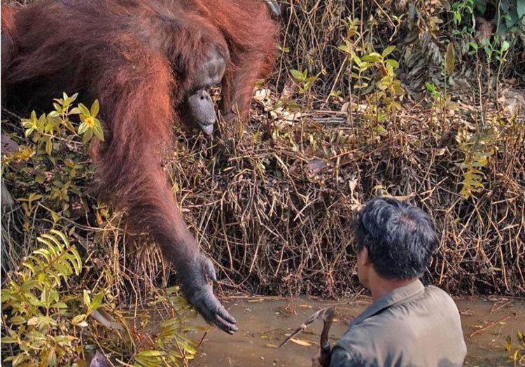 عکس-کمک اورانگوتان به محیطبانی که در رودخانه پر از مار گیر افتاده بود