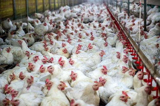 فیلم   در غذای مرغها در مرغداری تریاک میریزند؟