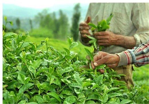 تفاله چایتان را دور نریزید/ 7 اثری که چای بر کود گیاهان دارد