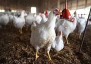 تست اعتیاد مرغهای کردستان منفی اعلام شد