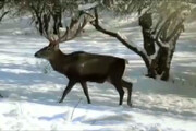 فیلم | گوزنها و سرما و برف بیسابقه در ارسباران