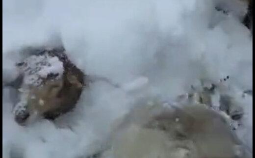 ببینید | این چوپان و ۵۰۰ گوسفندش ۴۸ ساعت است در برف بیسابقه گیر کردند