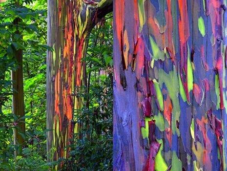 تصاویری از درختان شگفتانگیزی در فیلیپین با تنههایی رنگینکمانی